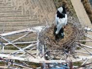 [포토뉴스]멸종위기 1급 천연기념물 '황새' 송전탑에 둥지틀다